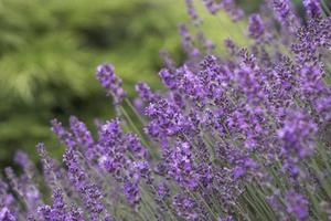 How To Grow Lavender In Texas It Can Be Done D