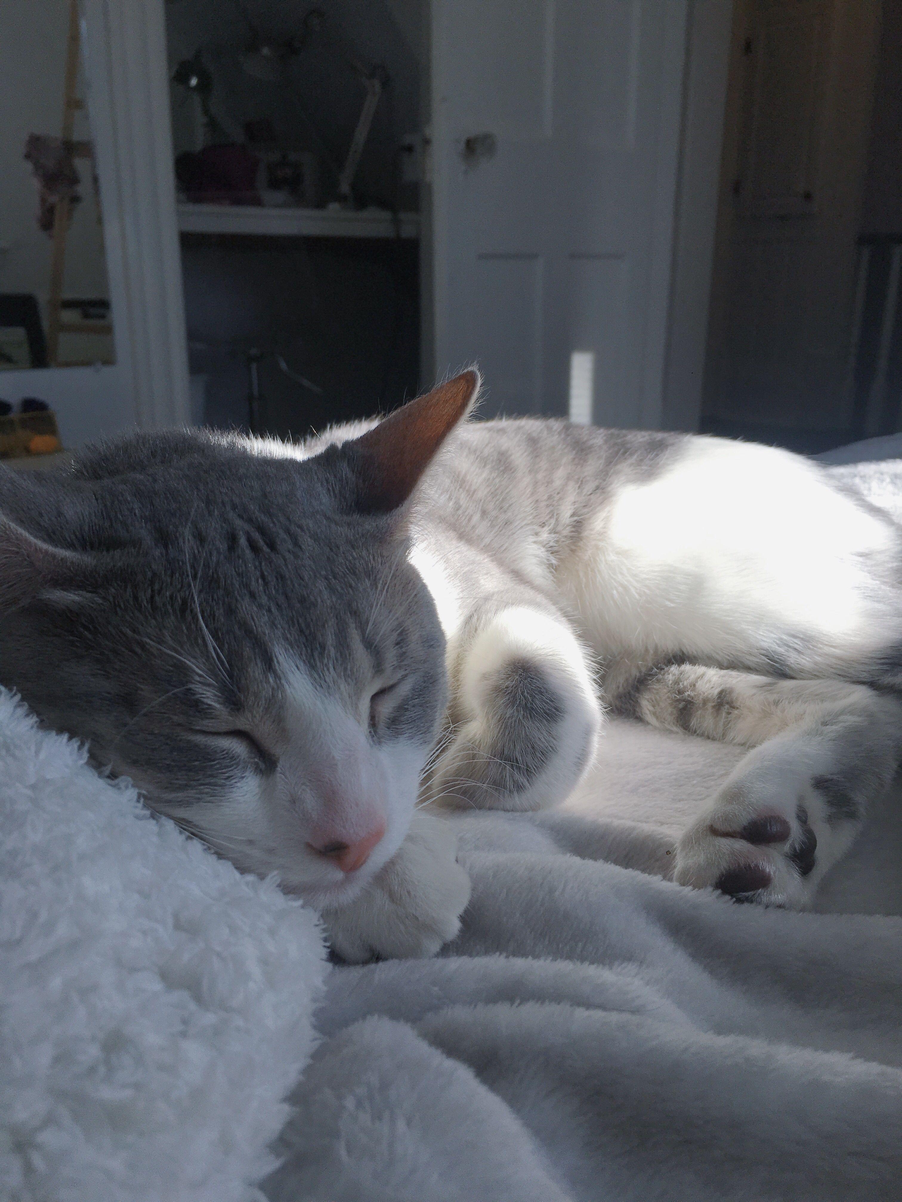 Cute Grey Tabby Kitten Cat Aesthetic Grey Tabby Kittens Grey