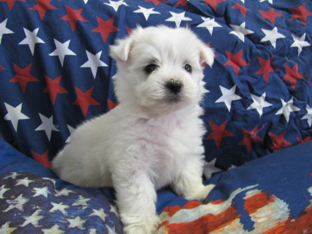 Conner Male Malti Poo Toy Dog Breeds Maltese Yorkie Puppy