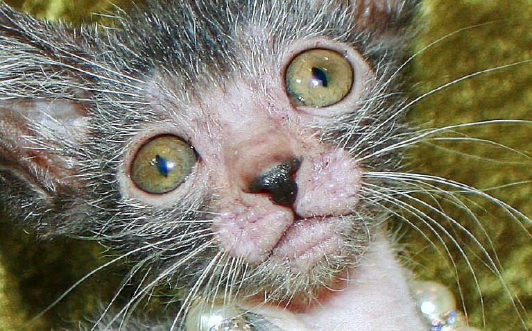 "The Lykoi cat, named after the Greek word for ""wolf"