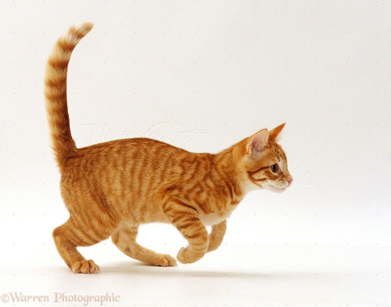 Orange Tabby Running Google Search Warrior Cat Names Cat Run Orange Tabby Cats