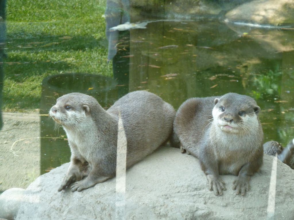 Asian Small Clawed Otter Chester Zoo Polar Bear Animals