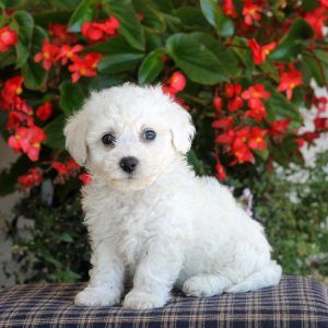 Bichon Frise Puppies For Sale Bichon Frise Puppies Puppies For Sale