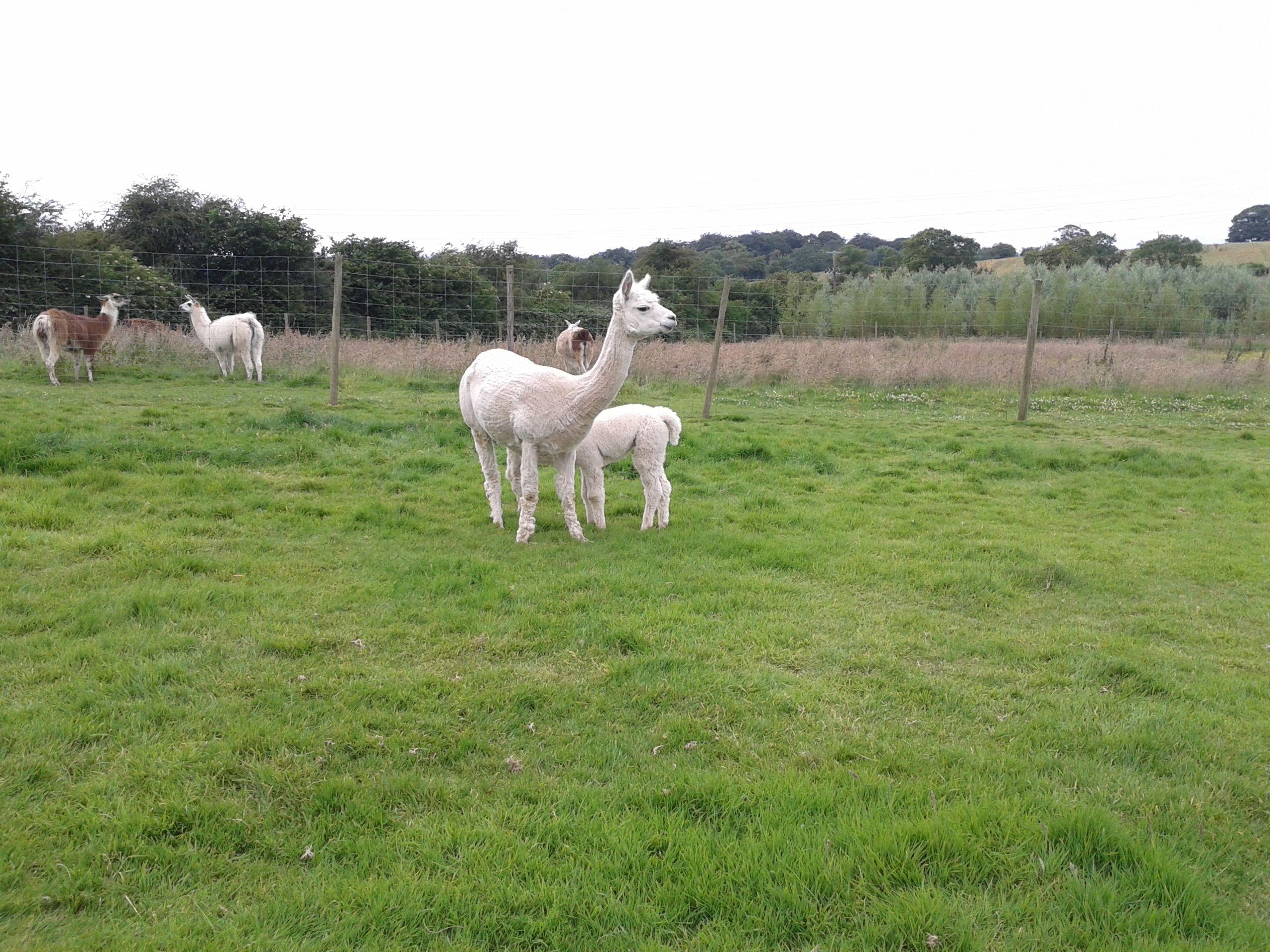 Alpacas and Llamas Zoo, Noahs ark, Animals