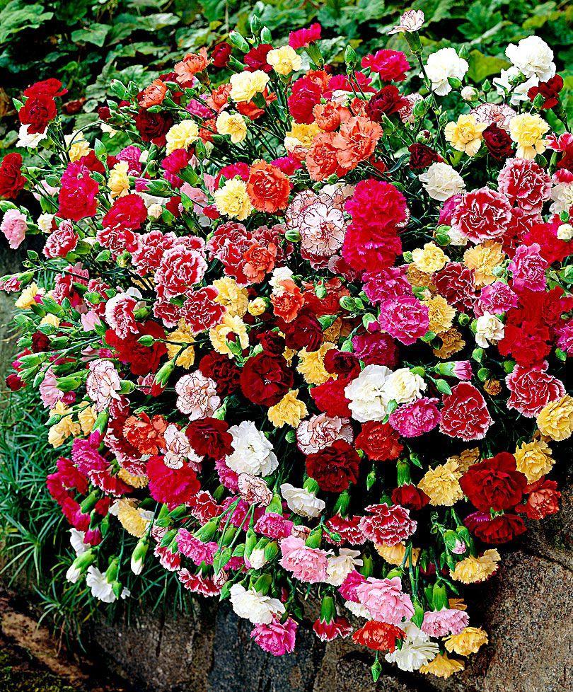 Swiss Hanging Carnations Mixed Plants From Bakker Spalding Garden Company Cicek Karanfil Cicekleri