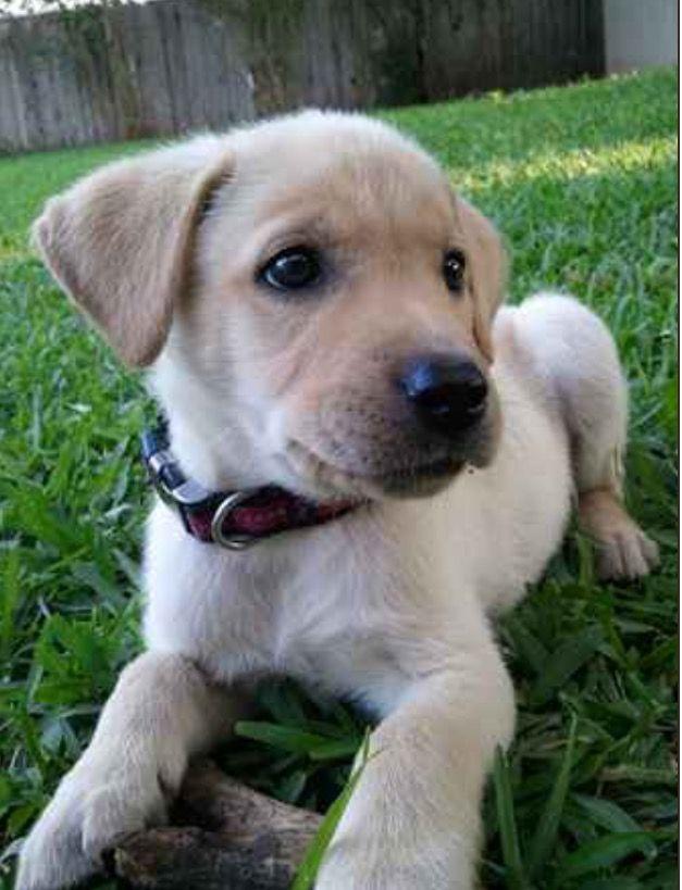 Meet Mateo The Spanador Pup Cocker Spaniel Labrador Mix From