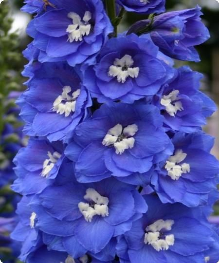 Hybrid delphinium, best used as blooms or shorter pieces grouped together
