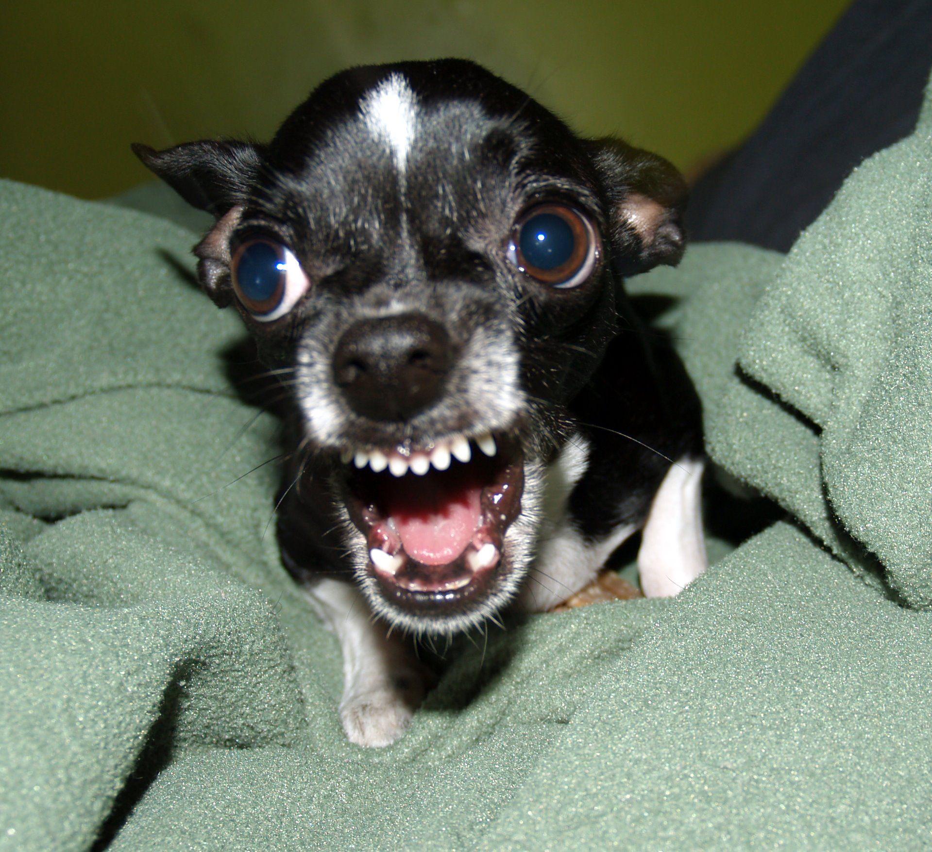 Top 10 Most Aggressive Dog Breeds Aggressive Dog Breeds Funny