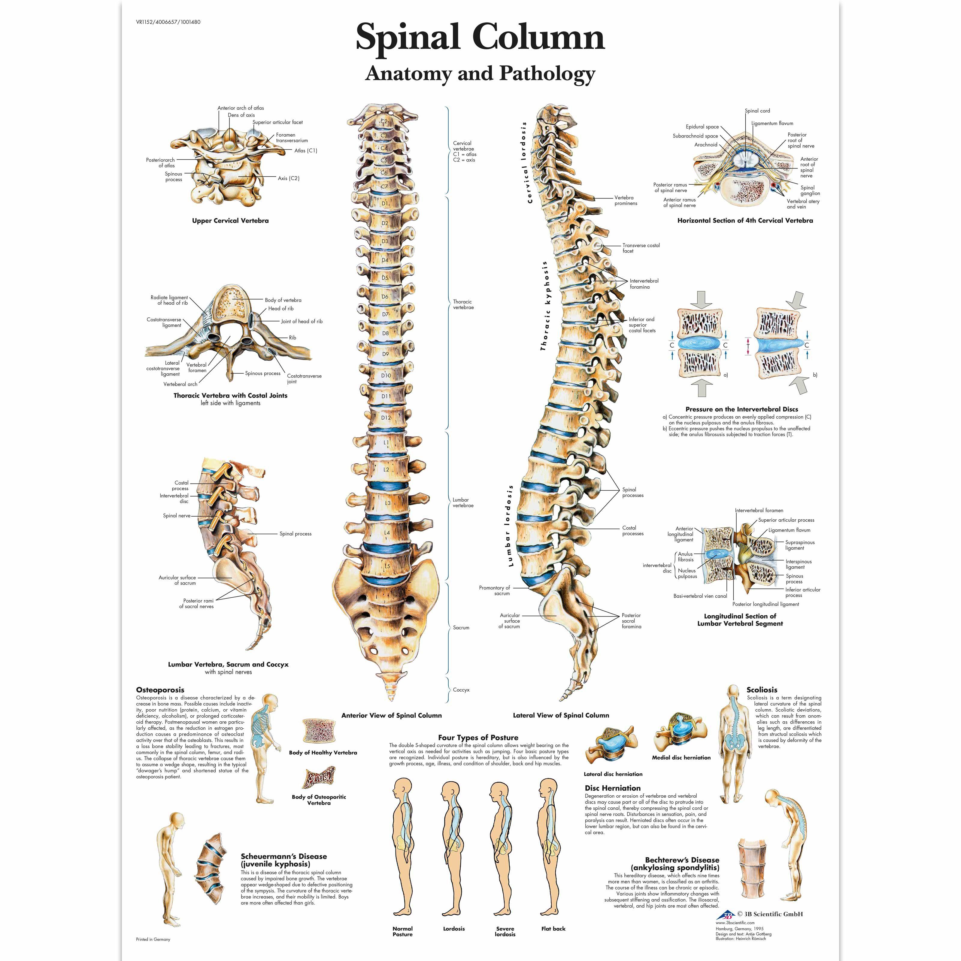 Spinal Column Chart Back Health Pinterest Spinal Column
