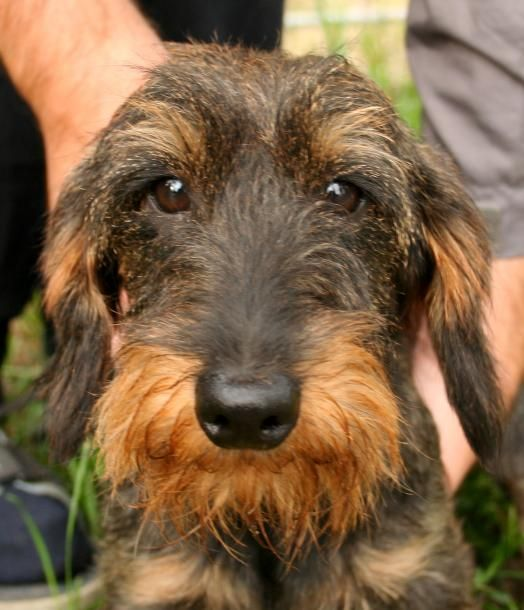 Photo Pure Race 1 Teckel Poil Dur Wire Haired Dachshund