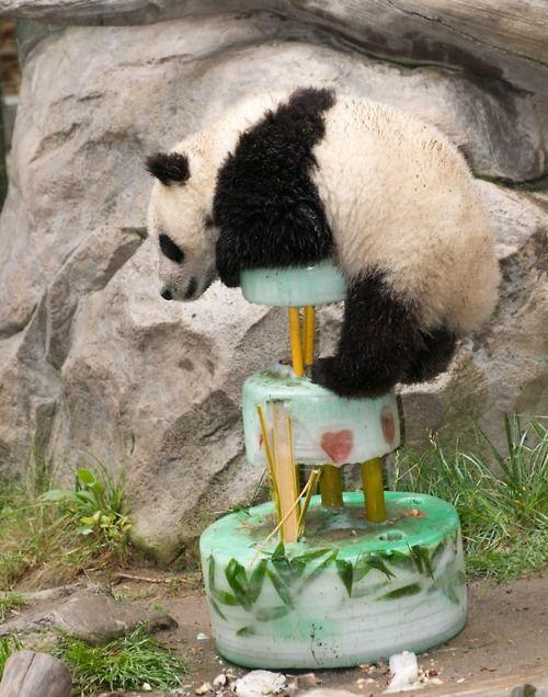 f568ea27a320db99645d7b3264f1aa84 pin zhen the panda turns 1 eats cake latimescom on pinterest