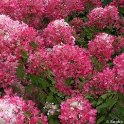 Hortensia - Hydrangea paniculata Diamant Rouge en pot de 10 L | Taille des hortensias, Planter ...