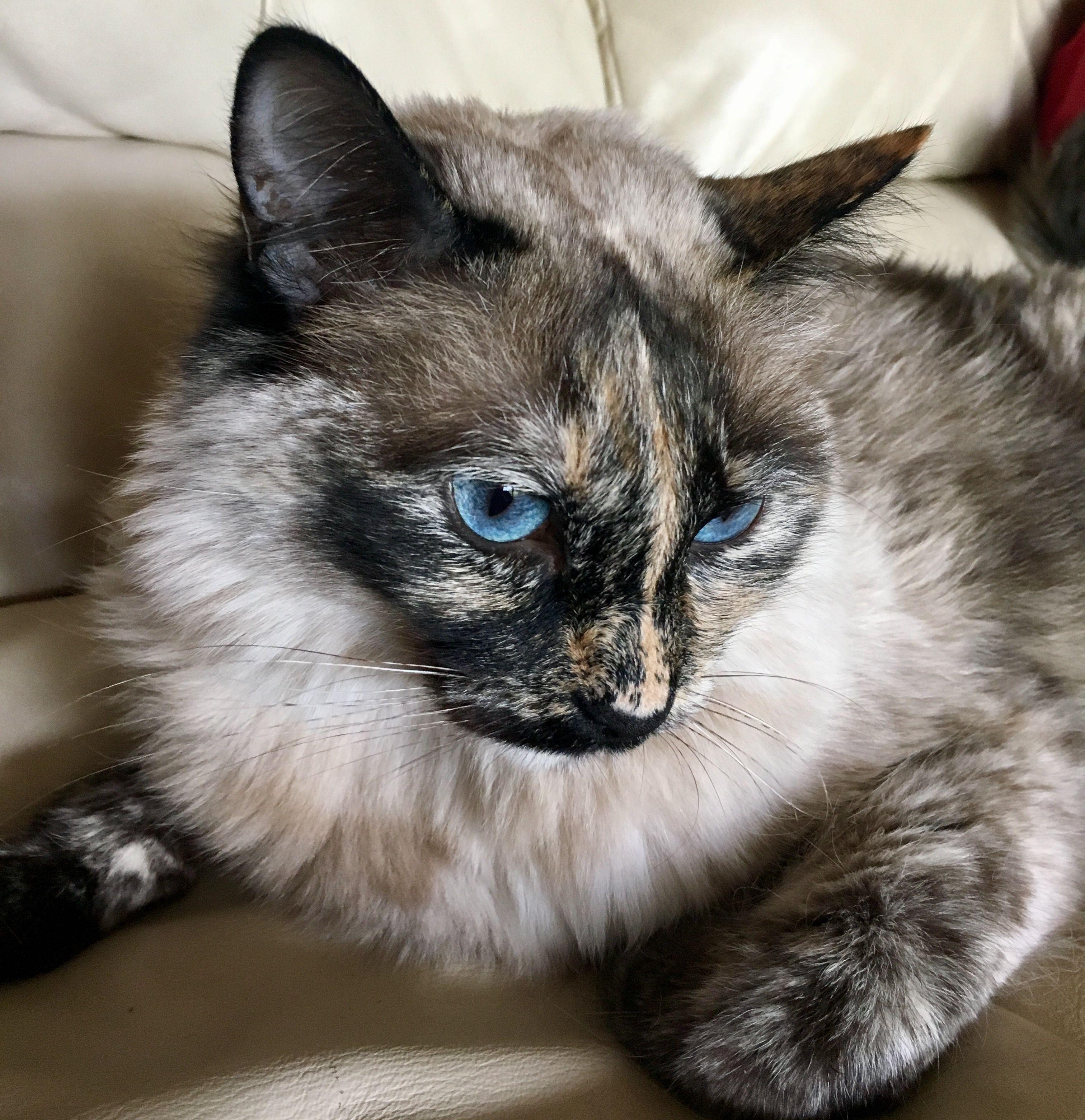 Tortie Point Ragdoll Siamese Mix Cat Breeds Siamese Siamese