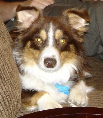Australian Shepherd And Corgi Mix Finally Found What Breed My