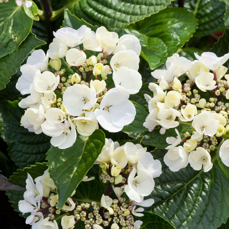Hydrangea Macrophylla Black Steel White Hydrangea Macrophylla Macrophylla Hydrangea