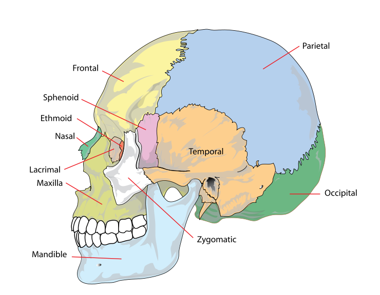 Human skull side simplified (bones) | The face | Pinterest | Human ...