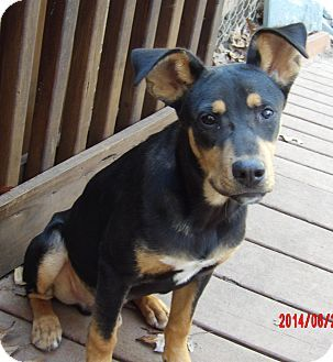 Williamsport Md Manchester Terrier Shepherd Unknown Type Mix Meet Copper 28 Lb Great Family Pet A Puppy For Ado Manchester Terrier Pet Adoption Terrier