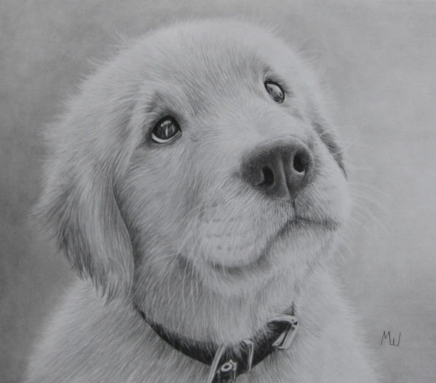 how to draw a golden retriever puppy video