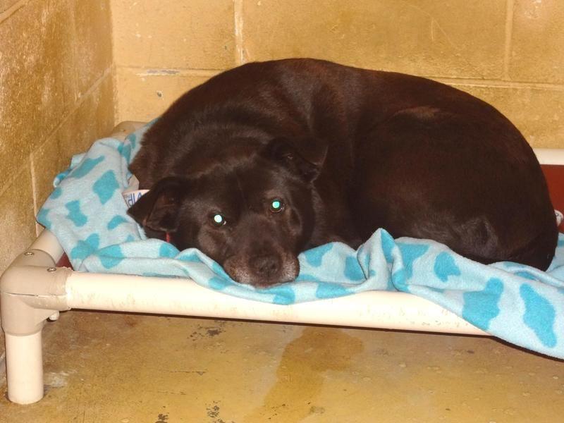 Adopt chulo on animal shelter i love dogs adoption