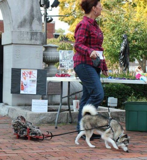 Husky Sled Dog Costume With Images Dog Halloween Costumes Dog