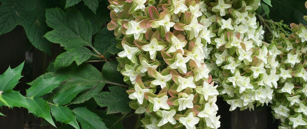 Why And How To Grow Oakleaf Hydrangeas Oakleaf Hydrangea Hydrangea Shade Hydrangea Garden