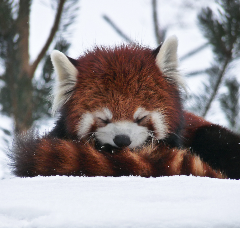 Aninimal Book: Dozing in the snow | Pet Shop Story | Red panda, Cute ...