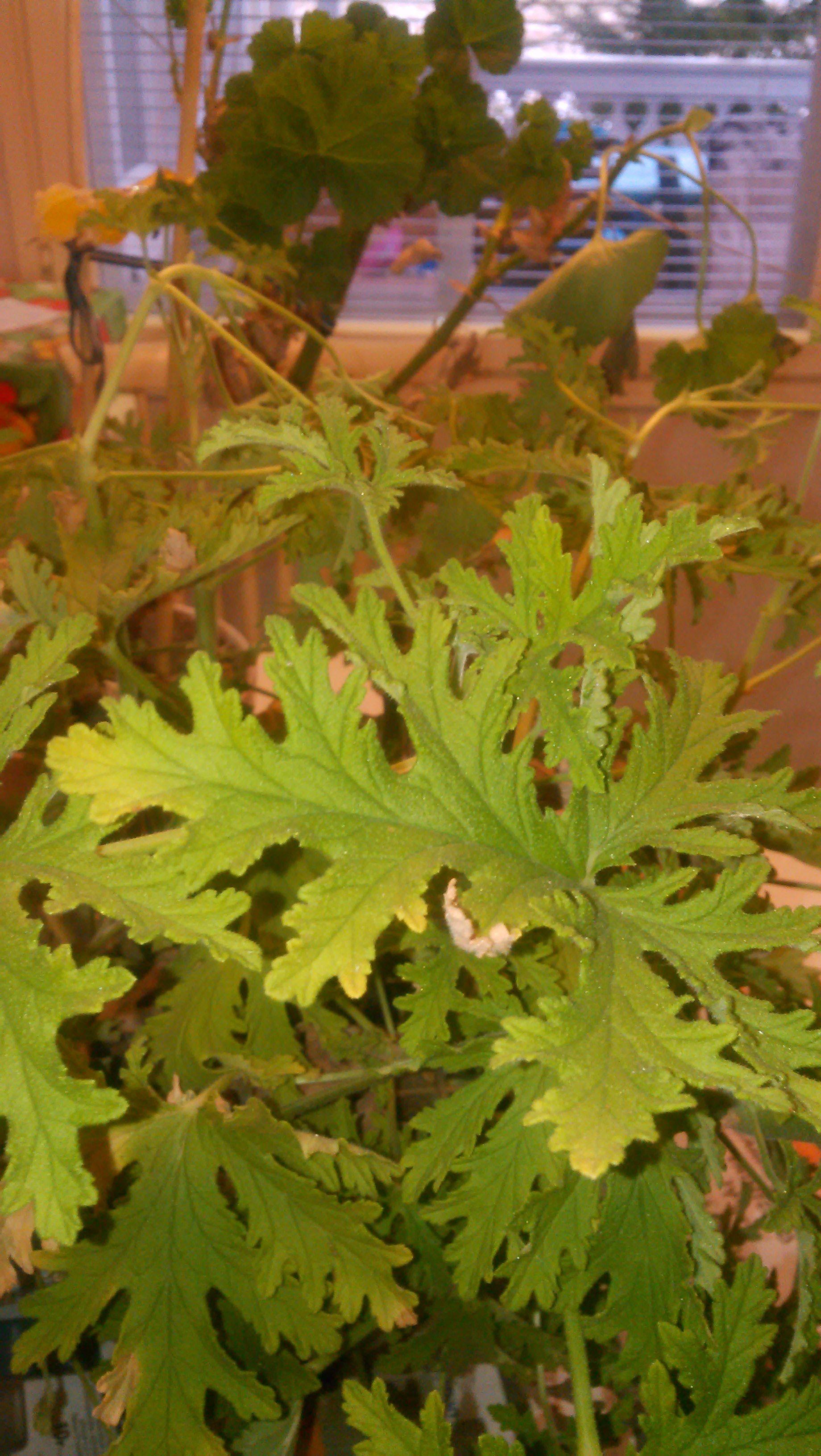 Tuoksupelargoni sai majailla ihan lämpimässä olohuoneessa ja paljon paremmassa kunnossa kuin vintiltä haetut. Pelargonium