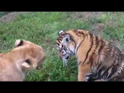 Filhotes de tigre e leão brincando