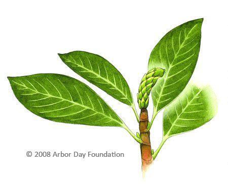 Saucer Magnolia Tree Identifying Trees To Plant Tree Id Plant