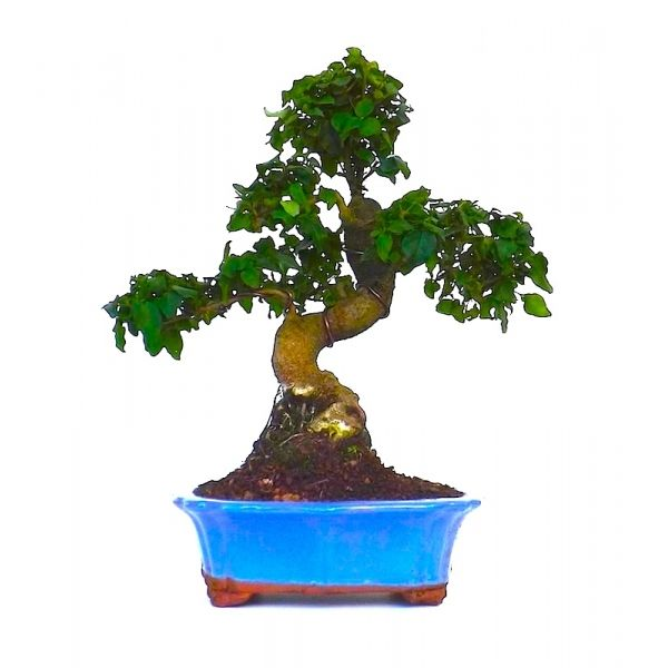 vente de bonsai ligustrum chinensis 35 cm ligch140101 sankaly bonsa votre professionnel du. Black Bedroom Furniture Sets. Home Design Ideas