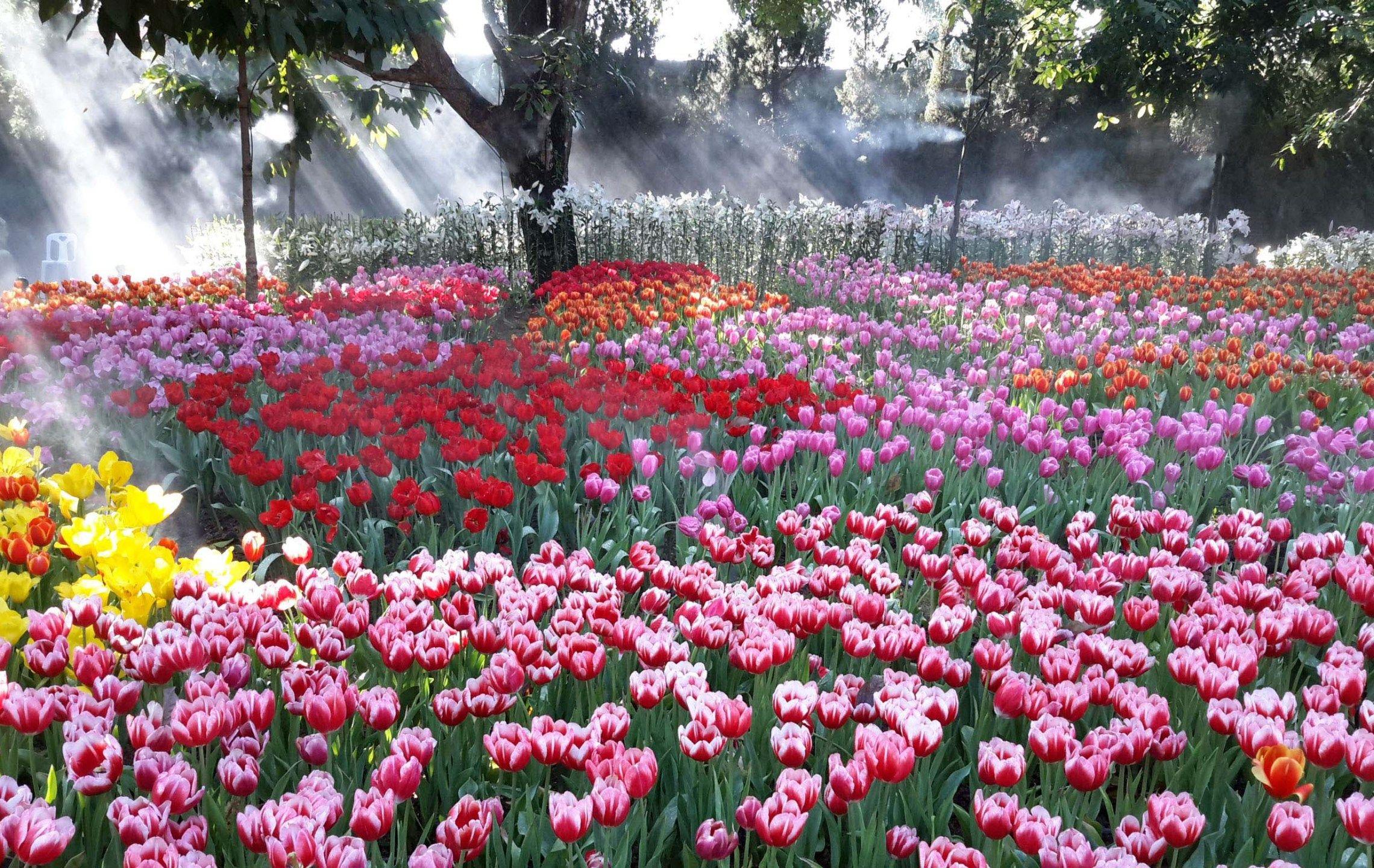 Mighty Tulip Farm Bloom Chiang Rai Park Thailand Best