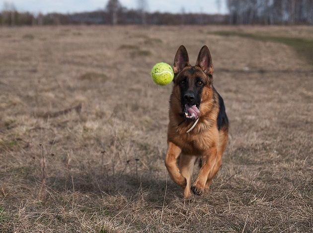 Resultado de imagen para german shepherd ball