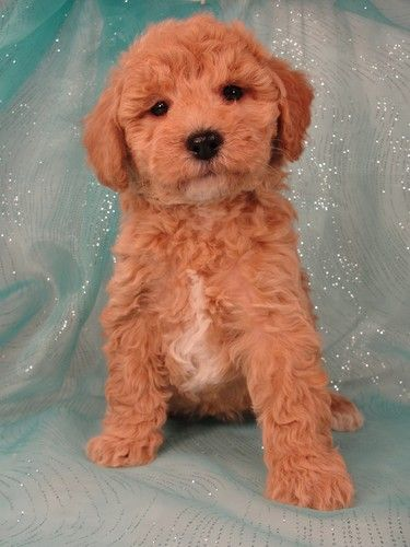 Apricot Bichon poodle Breeder with Puppies for sale in
