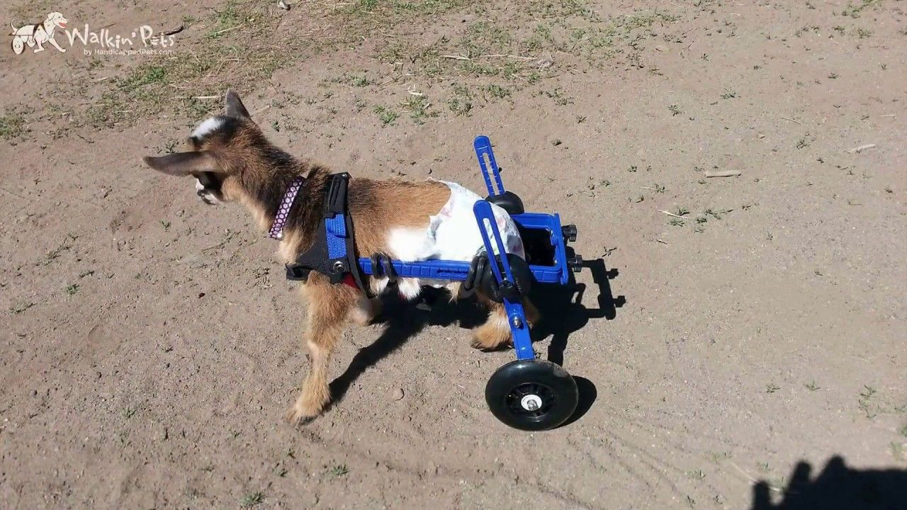 Walkin Wheels Mini Wheelchair Dog Wheelchair Animals Wheelchair