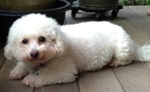 I Found Sunshine On Bichon Frise Dogs Bichon Rescue Pet Adoption