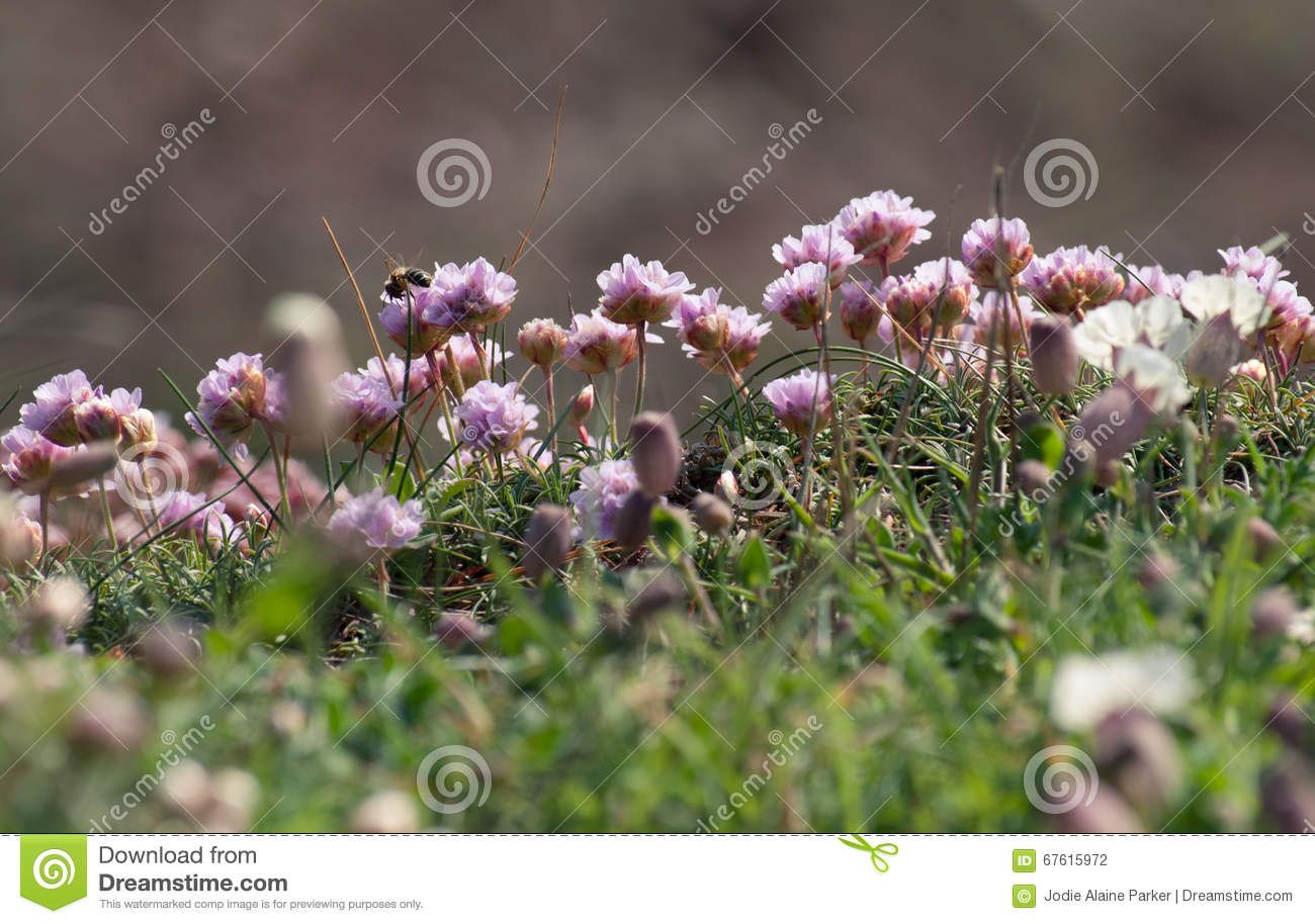 Pink Sea Thrift Coastal Flowers With A Masonry Bee Feeding Sea