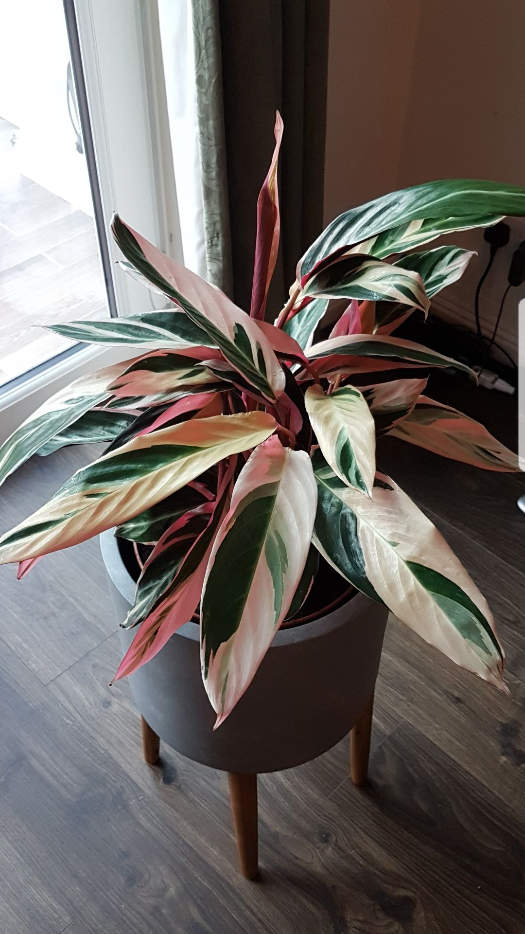 Got This Calathea Triostar For 12 From Homebase Any Advice To Keep It Alive Plants House Plants Decor Plant Decor