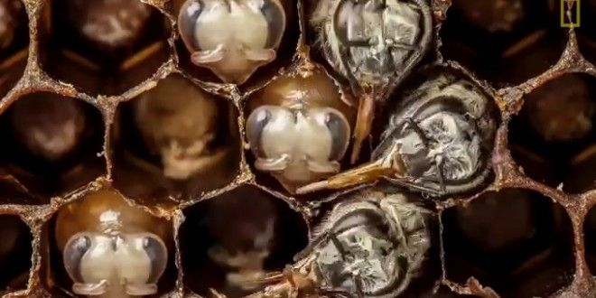 Berita Terkini : Kisah Hidup Lebah Dalam 1 Menit