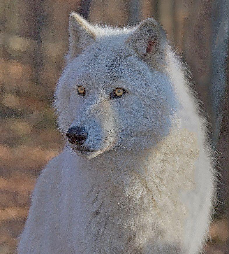 beautiful blue white wolf - photo #12