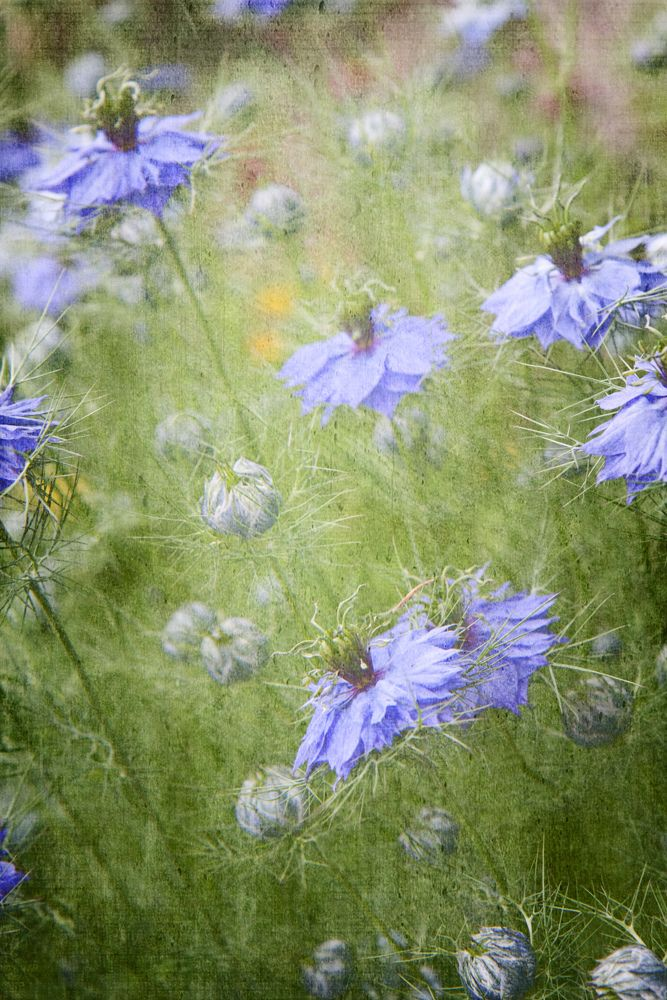 Whimsy In The Wind Explored Flower Seeds Flower Garden Blue Flowers