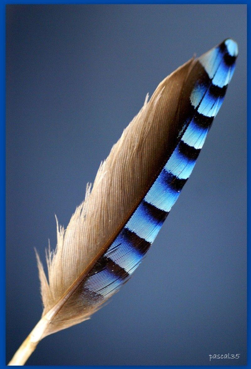 plume de geai                                                       …