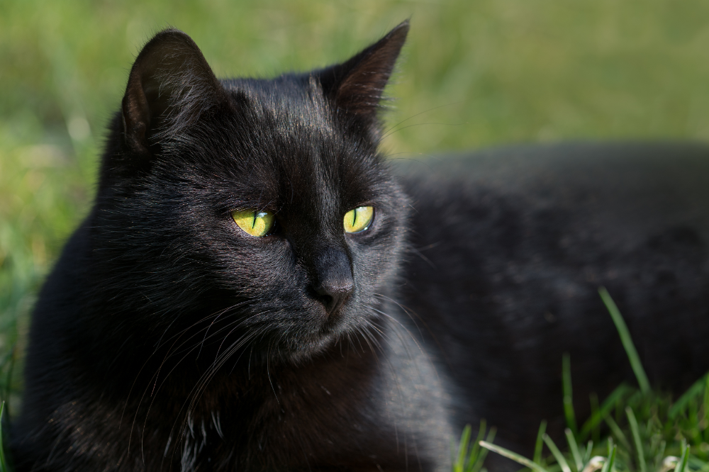 black cats Google Search Black cat day, Cat day