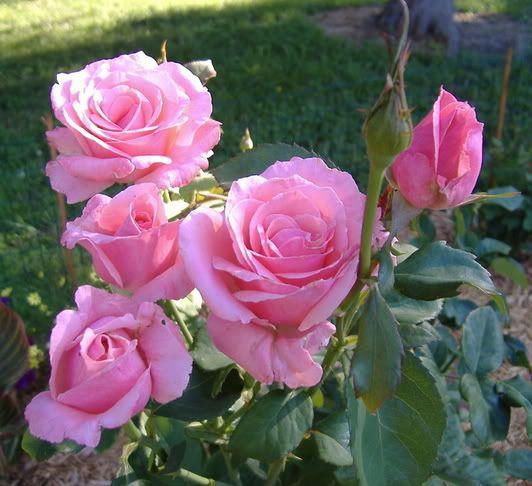 don juan climbing rose mismarked roses queen elizabeth. Black Bedroom Furniture Sets. Home Design Ideas
