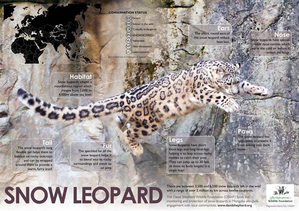 Protect all wildlife on twitter snow leopard facts snow