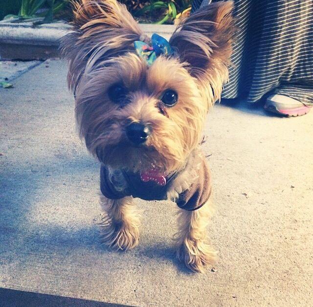 Yorkie hairstyles Yorkie, Dog grooming, Yorkshire terrier
