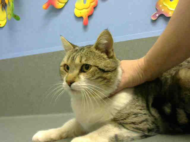 ID#A445763  I am described as a male, brown tabby and white Domestic Shorthair mix.  The shelter thinks I am about 2 years.  I have been at the shelter since Feb 10, 2015 and I am available for adoption now!  If you think I am your missing pet, please call or visit right away. Otherwise, please visit me in person as shelter staff are busy caring for my needs.