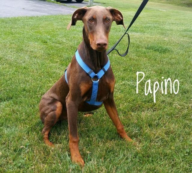 Doberman Pinscher dog for Adoption in Kendallville, IN