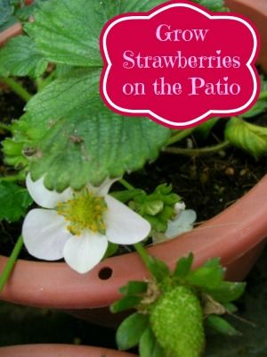 How To Grow Strawberries On Your Patio or Deck