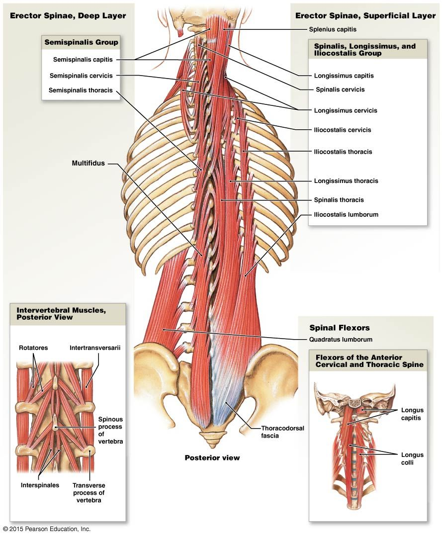 hight resolution of muscles of the vertebral column