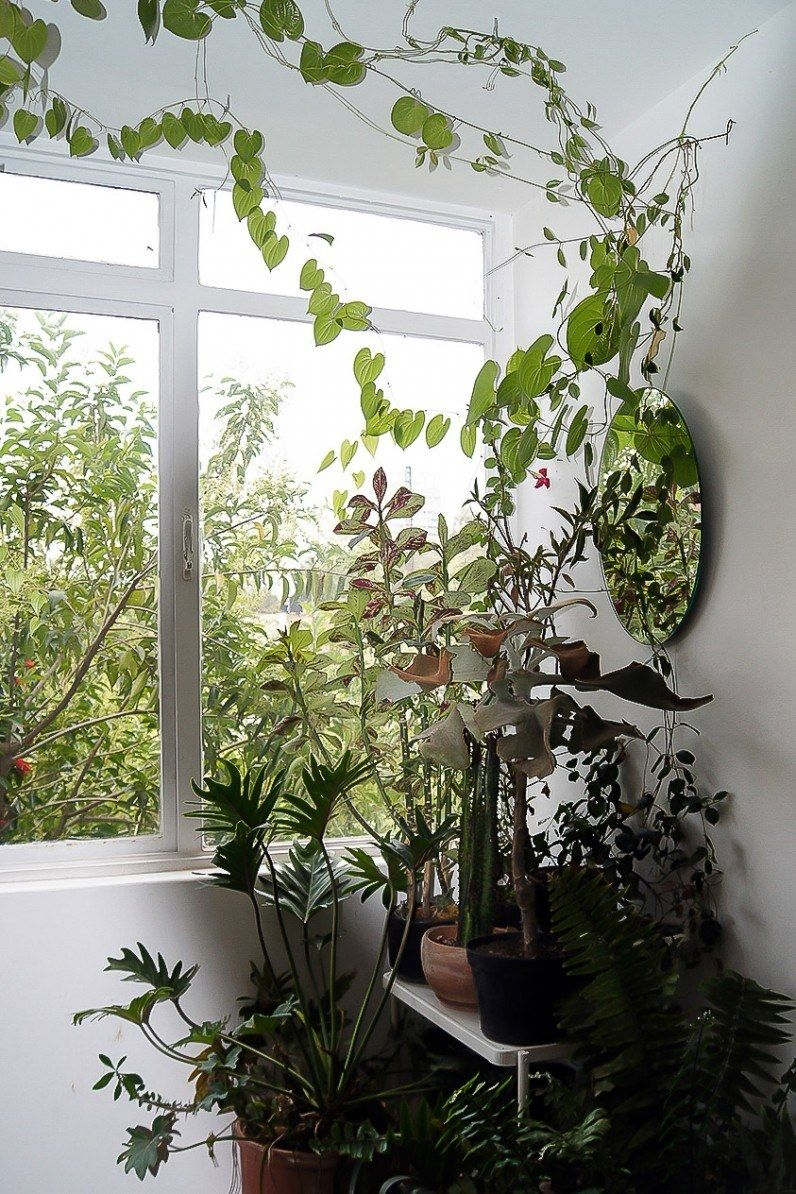 Our New Plant Obsession Is The Indoor Climbing Vine Architectural Digest Indoor Vines Ivy Plant Indoor House Plants Indoor